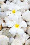 Plumeria flower on the stone Stock Photo
