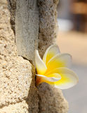 Plumeria flower in the stone wall Royalty Free Stock Image
