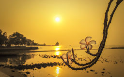 Plumeria flower at sunset time on the beach. Silhouette rock and trees ,soft and select focus Stock Photos