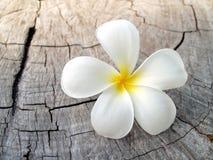 close up white plumeria or frangipani flowe on surface old stump of tree under evening sunlight Royalty Free Stock Image