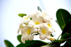 Plumeria flower. In Thai homes,Thai script for Plumeria la wa dii flower royalty free stock photography