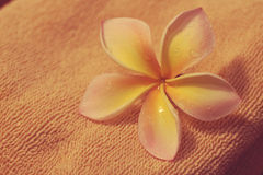Plumeria flower. With towel background Royalty Free Stock Image