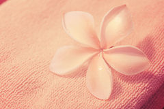 Plumeria flower. With towel pink background Stock Photos