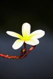 Plumeria flower on tree Stock Image