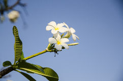 Plumeria flower. Stock Photo
