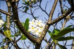 Plumeria flower. Royalty Free Stock Photo
