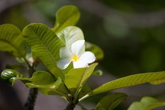 Plumeria flower. On the tree with green leaves on the islands garden Royalty Free Stock Photo