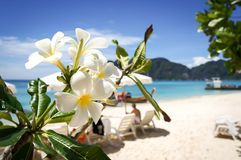 Plumeria flower on tropical beach background. Phiphi Island Thailand Stock Photos