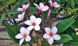 Plumeria flower in tropical park Stock Image