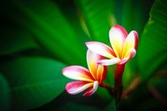 Plumeria Flower Royalty Free Stock Photo