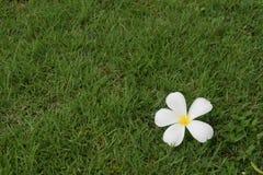 Plumeria. Flower plumeria white Royalty Free Stock Photos