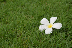 Plumeria. Flower plumeria white Stock Image