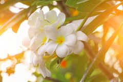 Plumeria flower white beautiful on tree with sunrise light tone. Common name pocynaceae, Frangipani , Pagoda tree, Temple tree. Plumeria flower white beautiful royalty free stock photo