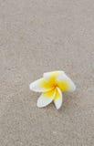 Plumeria flower Royalty Free Stock Photography