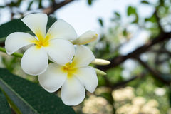 Plumeria flower. White Plumeria flower and tree Stock Image