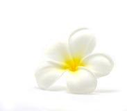 Plumeria flower. A white and yellow Plumeria flower Royalty Free Stock Image
