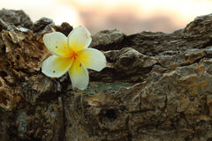 Plumeria flower on wood background. Stock Photography