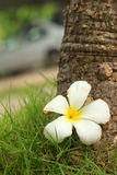 Plumeria flower on wood background. Plumeria flower on wood background Royalty Free Stock Image