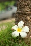 Plumeria flower on wood background. Royalty Free Stock Image