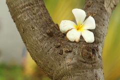 Plumeria flower on wood background. Royalty Free Stock Photo