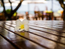 Plumeria flower on the wood table. Feel relax beside the beaches are warm Royalty Free Stock Photo