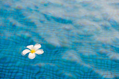 Plumeria flower. On pool texture Stock Image