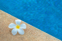 Plumeria flower. On polished stone texture Royalty Free Stock Photos