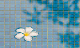 Plumeria flower. On pool texture Stock Photo