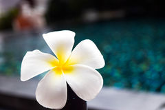 Plumeria flower on wooden chair in swiming pool Royalty Free Stock Photography