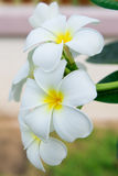 Plumeria flower. Yellow plumeria flower on the branch Royalty Free Stock Photography
