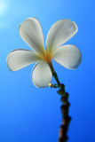 Plumeria flowers. Stock Photos