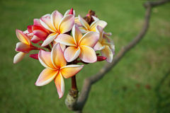 Plumeria flowers Royalty Free Stock Image