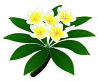 Plumeria flowers Royalty Free Stock Photo