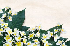 Plumeria flowers Royalty Free Stock Images