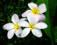 Plumeria Flowers. Plumeria (Frangipani) Flowers, Oahu, Hawaii Royalty Free Stock Photo
