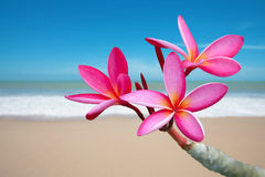 Plumeria flowers. On the beach Stock Photo