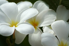 Plumeria flowers. Close up of white Plumeria flowers Stock Image