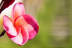 Plumeria flowers. Pink Plumeria flowers in the garden Royalty Free Stock Photography