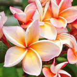 Plumeria flowers Stock Images