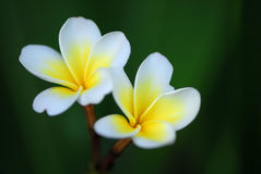 Plumeria flowers. Frangipani (plumeria) flower on a natural green background, horizontal crop Stock Image