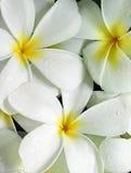 Plumeria flowers. White plumeria flowers close-up Stock Photo