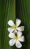 Plumeria flowers. Two plumeria flowers on green leaf with water drops Stock Photo