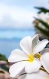 Plumeria flowers Royalty Free Stock Photos