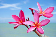 Plumeria flowers on the beach. With blue sky background Stock Images