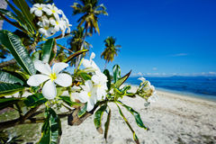 Plumeria flowers on the beach. Plumeria flowers on the white tropical beach Royalty Free Stock Images