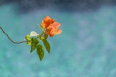 Plumeria flowers on the beautiful blue beach.  Royalty Free Stock Photo