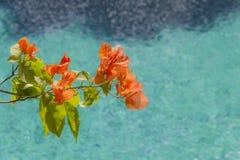 Plumeria flowers on the beautiful blue beach.  Stock Photo