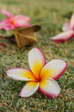 Plumeria flowers beautiful Royalty Free Stock Images