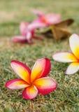 Plumeria flowers beautiful Stock Photography