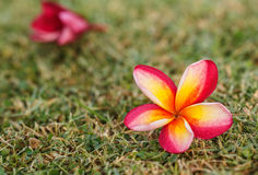 Plumeria flowers beautiful Royalty Free Stock Photo